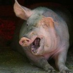 mean pig picture