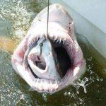 sharks eating
