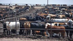 cattle feedlot 300x169 - The Dignity of Risk
