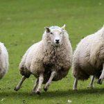 sheep 22